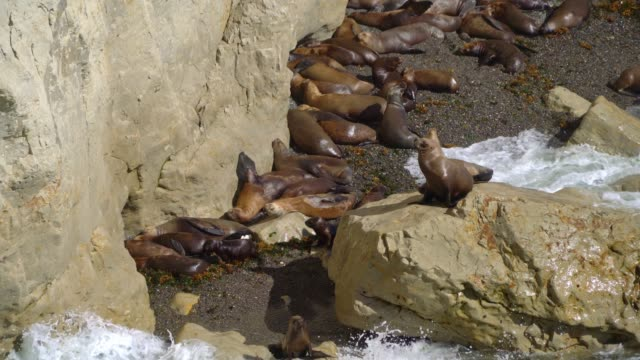 Close up shot of Big group of Sealions on a small rocky beach