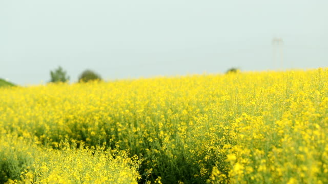close up shot of canola flowers swaying in the winds - canola video stock e b–roll