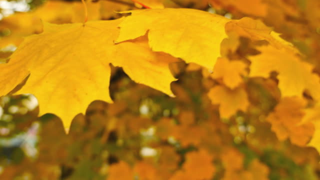 Close up shot of colorful fall leaves swinging on a tree video