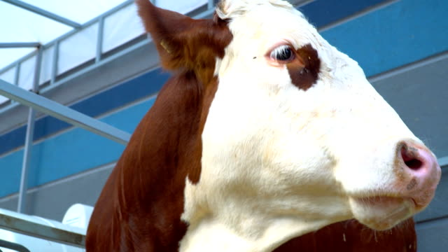 Close Up Shot of Cow in Farm