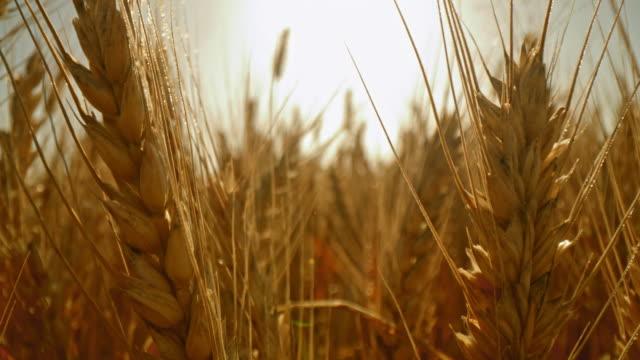 stockvideo's en b-roll-footage met ds sluit omhoog schot van oren van tarwe op het gebied - kleine scherptediepte