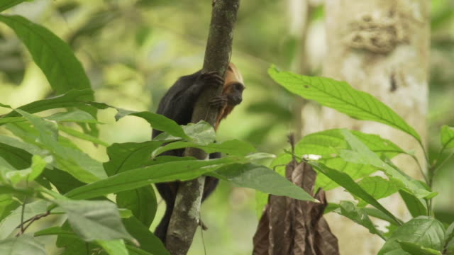 Close up shot of golden headed lion tamarin monkey in treetops in Brazil