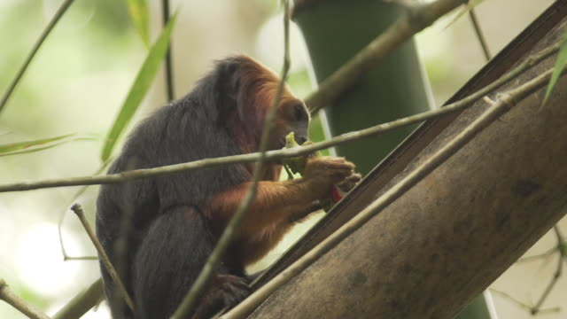 close up shot of golden headed lion tamarin monkey in treetops in brazil - primate video stock e b–roll