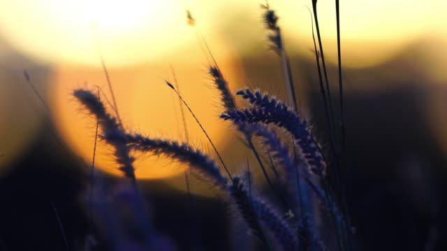 vídeos de stock e filmes b-roll de close up shot of grass flowers in the soft wind during sunset - granadilha