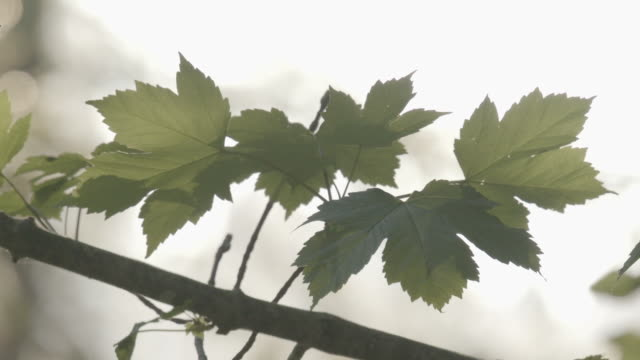 close up shot of green maple leaves on a tree - styria filmów i materiałów b-roll