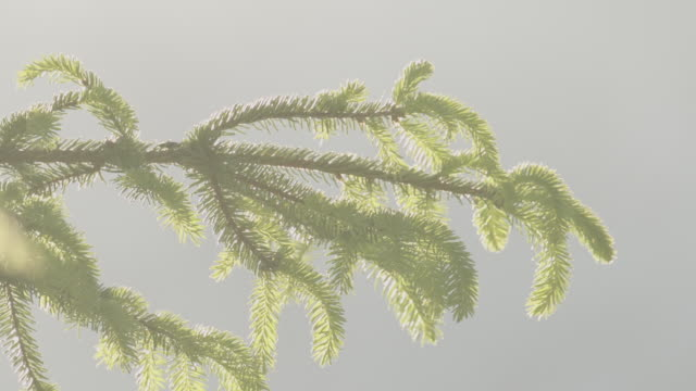 close up shot of green pine needles on a tree - styria filmów i materiałów b-roll