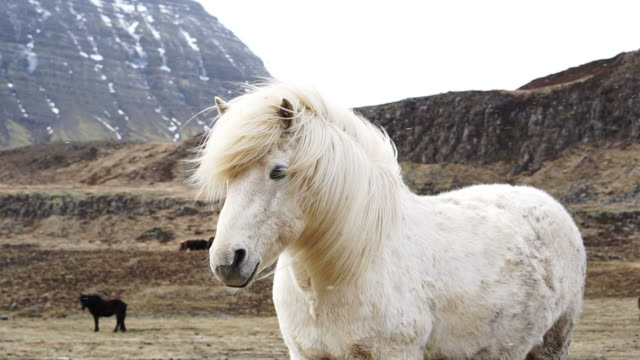 Close up shot of Icelandic horses head shot. Standing with swaying horse's mane in the windy and snowy environment video