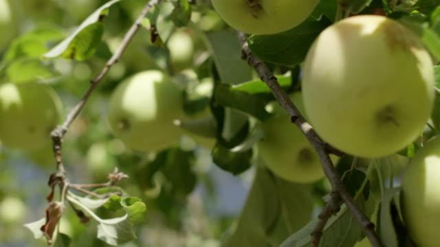 Close up shot of organic green apples. video