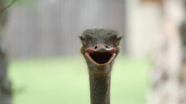 Close up shot of ostrich at the ostrich farm