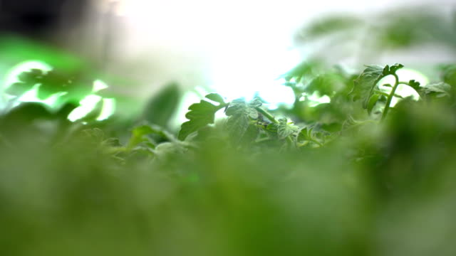 Close Up Shot of Parsley in Greenhouse Handheld Camera with No People Close Up Shot parsley stock videos & royalty-free footage