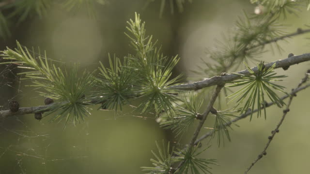 close up shot of pine needles on a tree - pinacee video stock e b–roll