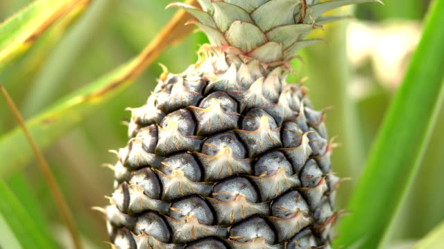 stockvideo's en b-roll-footage met close-up shot van ananas groeien in een boerderij, dolly schot - tropisch fruit
