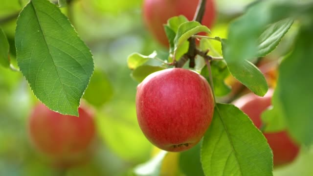 Close up shot of red ripe apples on the tree branch. Blurred background.
