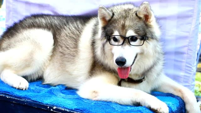 Close up  Siberian  husky dog
