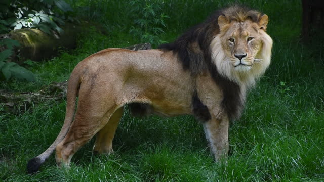 Close up side portrait of male lion standing