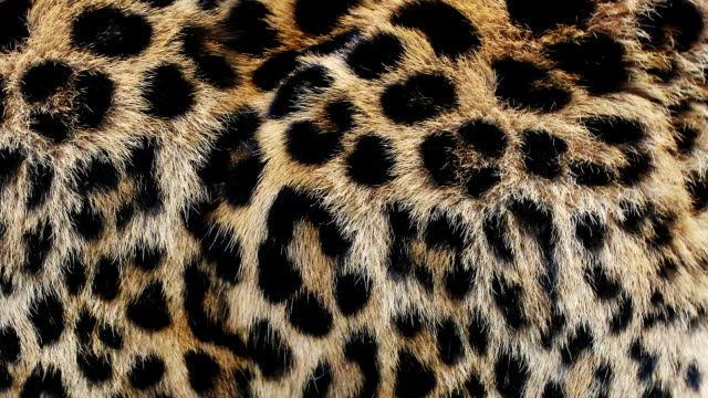 Close up, slow motion of moving leopard hair. African wild cat fur. Beautiful exotic animal background, abstract natural animation. video