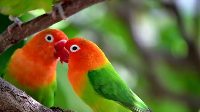 close up slow motion wild tropical Fischer's Lovebirds video