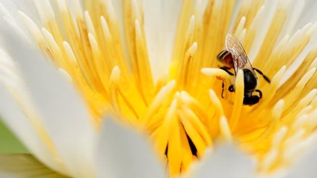 primo piano: piccola ape in loto bianco - ape operaia video stock e b–roll