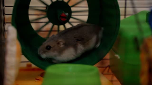 Close up small brown hamster running in small blue wheel