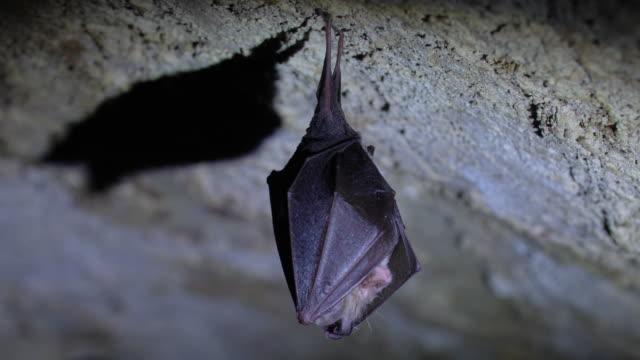 close up small horseshoe bat covered by wings shake awaked after hibernation. - horseshoe stock videos & royalty-free footage