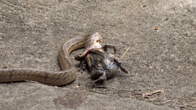 Close up snake eating bullfrog. video