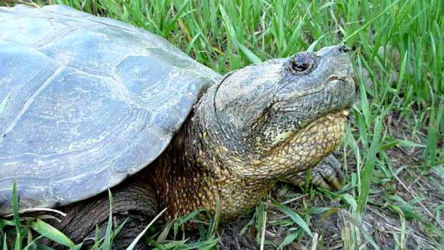Close up snapping turtle walking Denver Colorado A very large snapping turtle, more than two feet long, walks along the path, plowing through grass and plants at Harriman Reservoir near Bear Creek Lake State Park Colorado in Lakewood Colorado, just outside Denver. snapping turtle stock videos & royalty-free footage