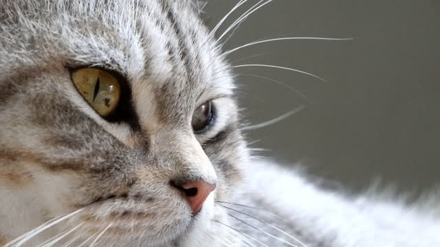 Close up tabby cat mixed American shorthair and Persian sleep on floor,slow shot