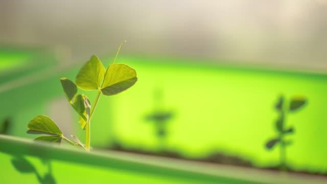 en närbild tid förfaller av en planta ärt grönsaksväxt och blad i en ljusgrön planter låda som växtbladen rör sig och växa mot solskenet kommer genom ett fönster på morgonen på våren. - pea sprouts bildbanksvideor och videomaterial från bakom kulisserna