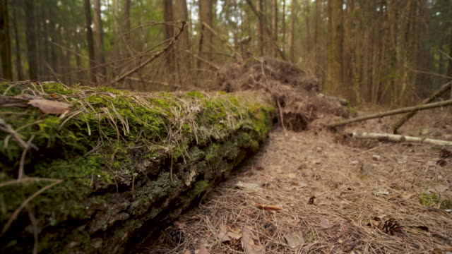 Close up tracking shot along a fallen tree lying on the forest floor in spring