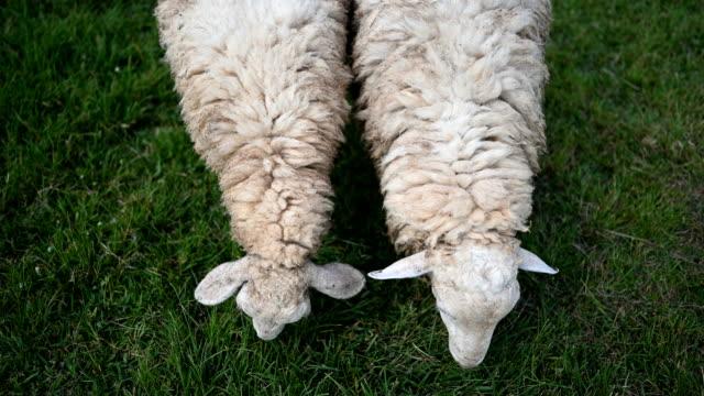 vidéos et rushes de fermer jusqu'à deux moutons paître tout en profitant de manger de l'herbe dans les prairies vertes - mouton