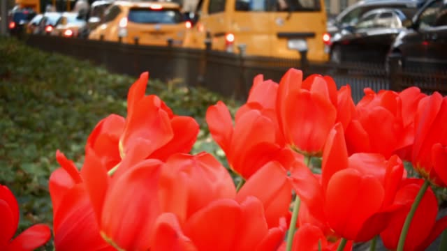 Close up Video of a group of Red Tulip Flowers on Park Avenue New York City with People walking in Background