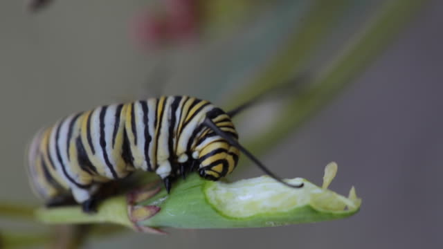Close up video of a monarch butterfly caterpillar eating a milkweed pod Larval caterpillar of a monarch butterfly actively eating the green pod of a milkweed plant, with focus on the head of the caterpillar arthropod stock videos & royalty-free footage