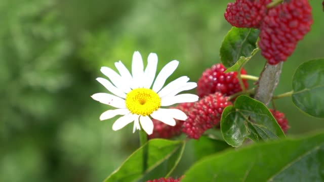 Close Up Video Of Daisy FlowerBy Mulberry Fruit video