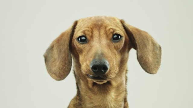 Close up video portrait of cute little dachshund dog video