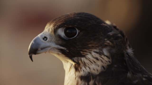 Close up view of a falcon