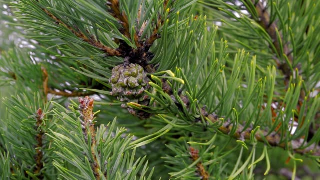 Close up view of a green pine cone with green pine needles surrounding it and a blurred background in