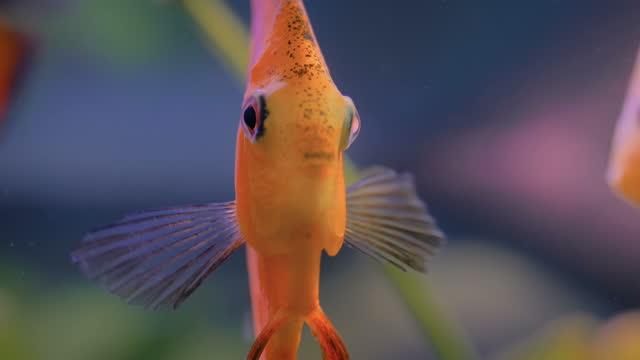 altın melek balığının yakından görünümü, sualtı yaşamı - i̇htiyoloji stok videoları ve detay görüntü çekimi