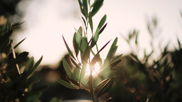 close up view of green olive branch tree with rays of sun in the background - oliva video stock e b–roll