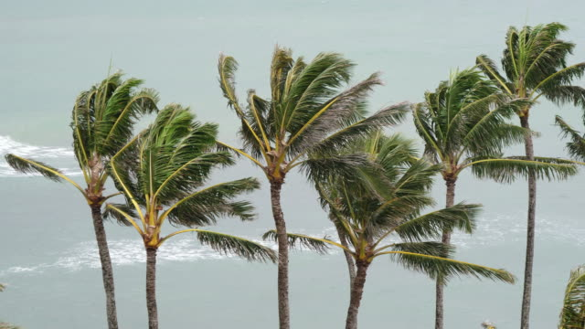 Close Up View of Palm Trees Swaying In Wind