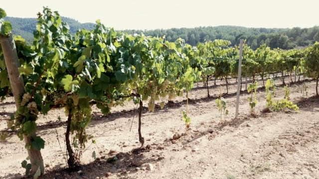 close up view of ripe white grapes in vineyard - uva riesling bianco video stock e b–roll