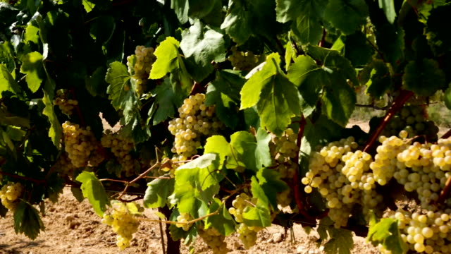 close up view of ripe white grapes - uva riesling bianco video stock e b–roll
