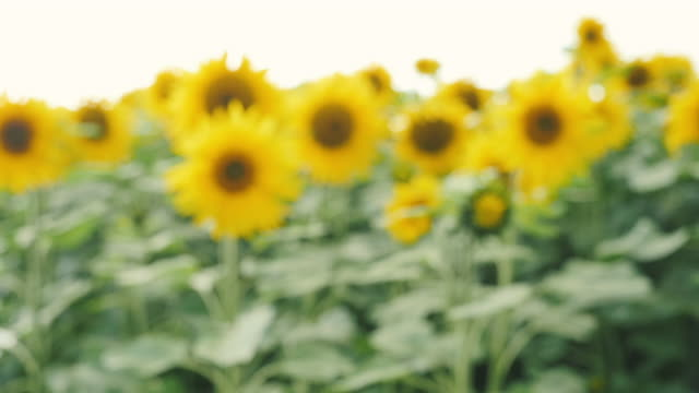 close up view of sunflower video