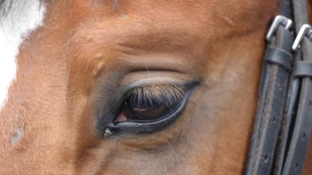 вид крупным планом на глаз красивой коричневой лошади. лошадиный глаз мигает. медленное движение - скаковая лошадь стоковые видео и кадры b-roll