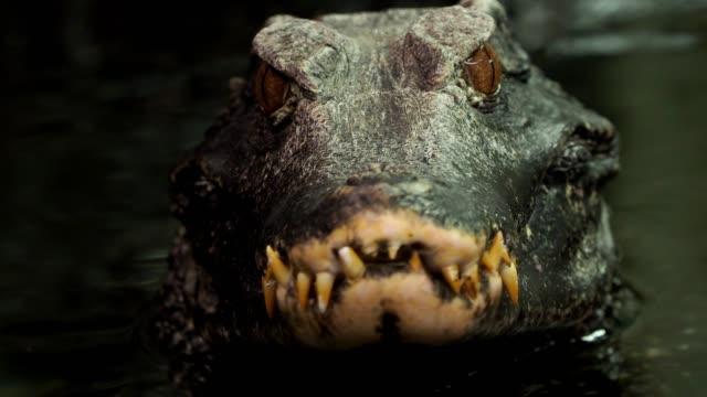 Close up view of the head of a crocodile (Paleosuchus palpebrosus).