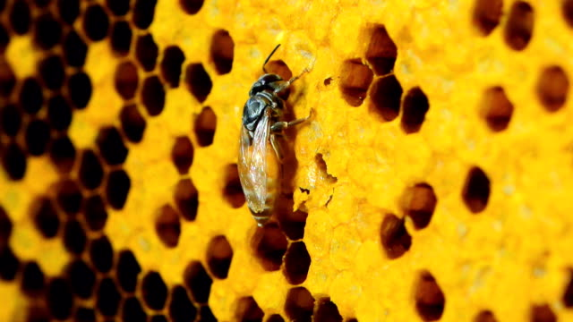 close up view of the working bees on honey cells - favo video stock e b–roll