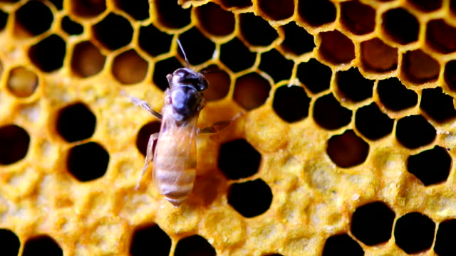 vídeos de stock e filmes b-roll de close up view of the working bees on honey cells - honeycomb