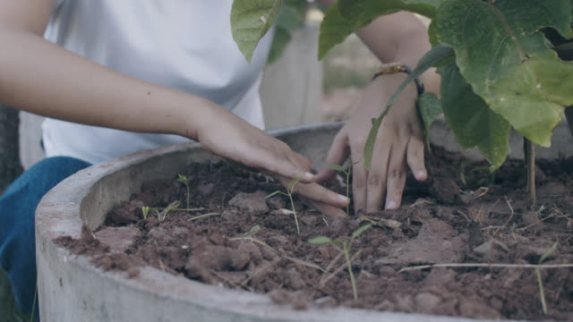 Close up view of woman's hand is planting green vegetable garden in the backyard.Concept of growing plants for food to eat at home.4k slow motion.