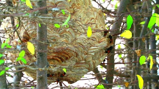 aus nächster nähe wespen bienenstock im garten und erkunden rund um die gegend - hornisse stock-videos und b-roll-filmmaterial