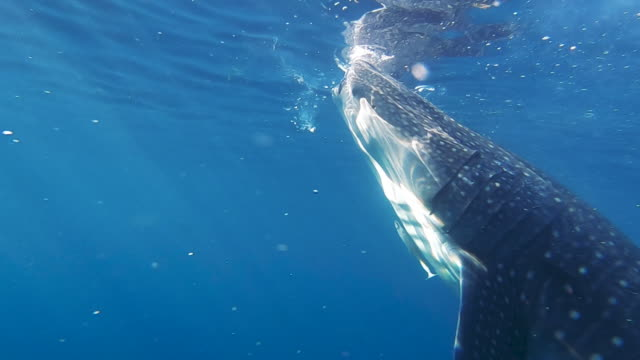 close up whale shark on clear blue ocean surface, Oslob, Philippines