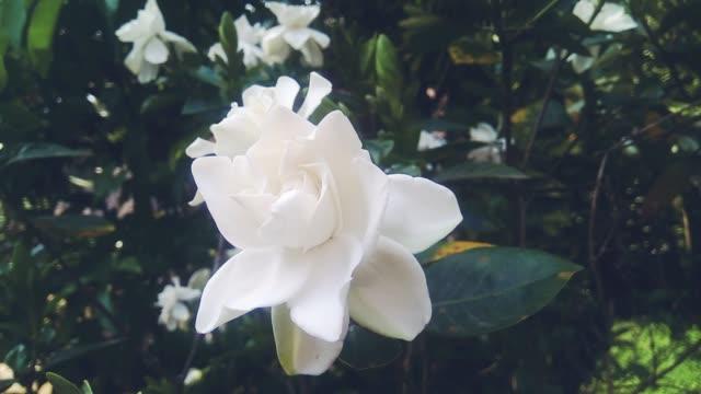 schließen sie weiße blumen oder gardenia jasminoides, die gardenia oder cape jasmin im wind schwanken. - jasmin stock-videos und b-roll-filmmaterial